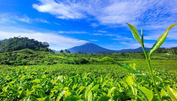 Perkebunan Teh Tambi, Simak Sejarahnya